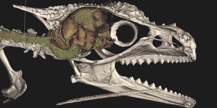 Chamäleon mit Loch im Schädel